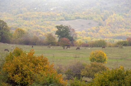 Autumn landscape. Horses graze in the fields, trees with colorful leaves on the mountainside. A mist closing in.