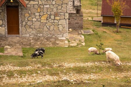 A herd of pigs grazing on the grass near the stone houses