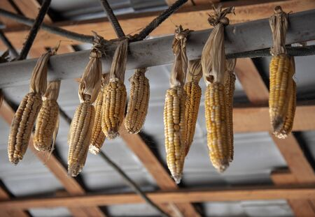 dry corn suspended, as a decorative element, on a beam under the roof.