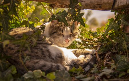 The cat lies comfortably on ivy shoots under a wooden fence, illuminated by the rays of the sun. Stock fotó