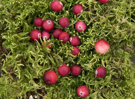 Bright ripe cranberries lie on the fluffy green moss.