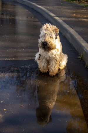 Wheaten soft coated wheaten Terrier is sitting on the pavement near puddles reflected in it.Illuminated by the solar rays.