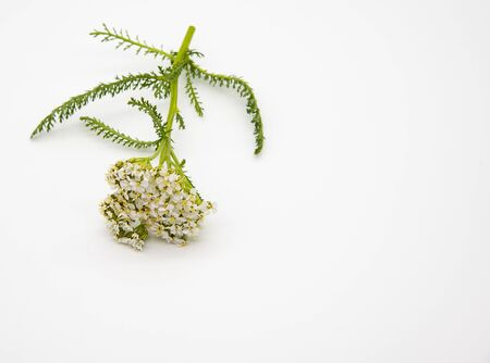 One sprig of fresh yarrow on a light background.Medicinal herb. Free space.Minimalism.