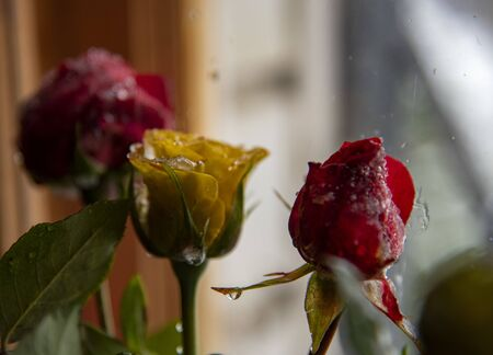 Multicolored rose Buds on which ice melts on the blurred background of the window.