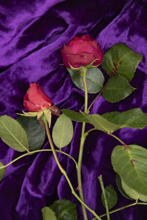 Two red roses on a purple velvet background. Stok Fotoğraf
