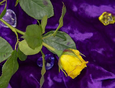 One yellow rose on a purple velvet background.