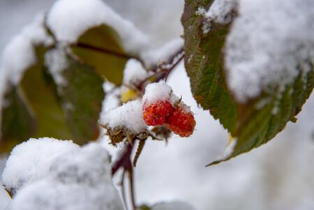 Raspberry on a branch with green leaves, covered with snow. 版權商用圖片