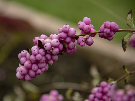 branch of snowberry with pink fruits on blurred background.Selective focus. Stockfoto