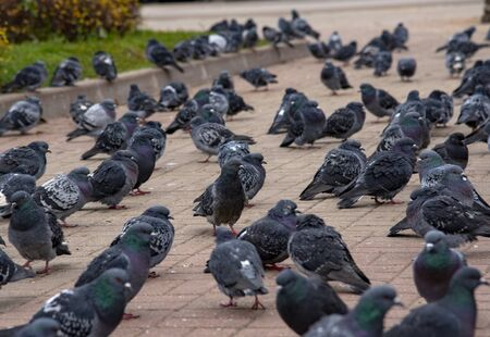 A huge number of city pigeons on the square paved with red tiles.