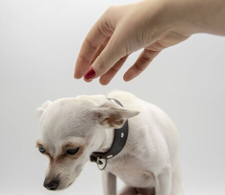 A small white puppy in a black collar and a woman's hand on a light background.