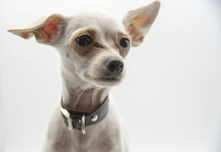 Portrait of a small white dog, Russian toy Terrier, on a light background.