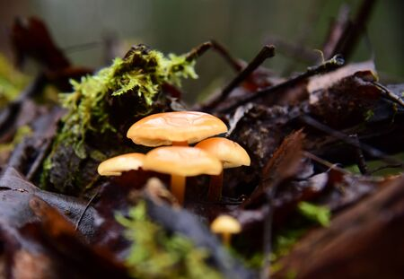 Bright shiny mushrooms on a half-rotted stump in the late-autumn forest.
