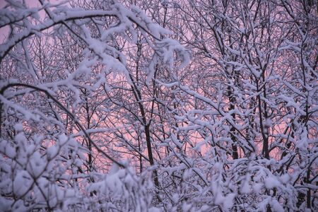 Snow-covered tree branches against the background of pink gentle dawn in the early winter morning.