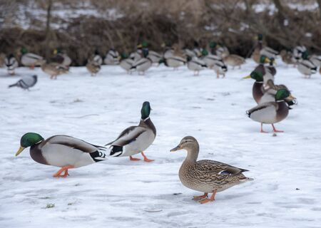 Ducks and drakes are looking for food in the snow, on the Bank near the river.