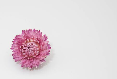 One bright dry Helichrysum flower on a light background.