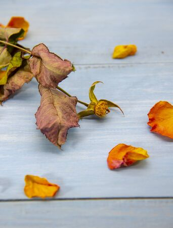 Dry rose stalk and petals scattered around on a blue wooden background.