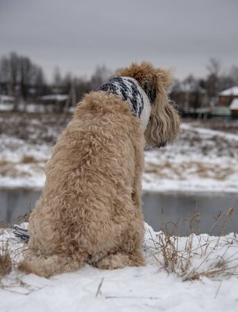 Vertical photo of a dog, a wheat Terrier, in a scarf, sitting on the snow-covered Bank of the river and looking into the distance.