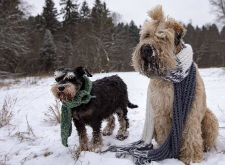 Photo of two dogs, a wheat Terrier and a miniature Schnauzer, dressed in warm knitted scarves, in a snow-covered clearing.