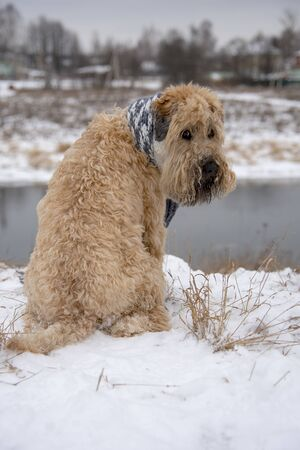 A dog, a wheat Terrier, with a scarf tied around his neck, sits on the snow-covered Bank of the river, looking back at the camera. On the background of a rural landscape.