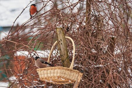 In the foreground, a female bullfinch is sitting in a basket against a Bush, with the silhouette of a male bullfinch in the background. Winter scene from the life of birds.