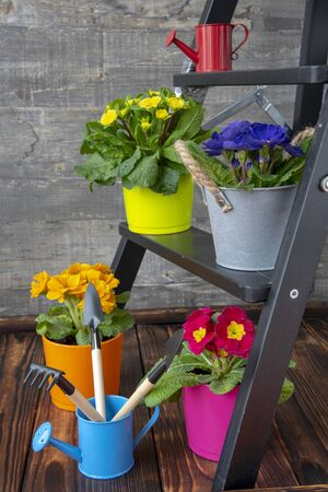 Bright flower pots with primroses and garden tools are placed on a small wooden ladder. Joyful spring background. Stock Photo