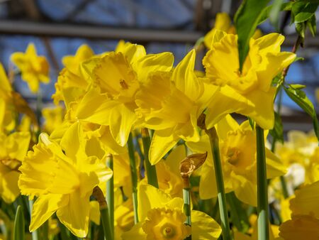 Bright yellow daffodils. Floral background. Symbol of spring, joy and love.
