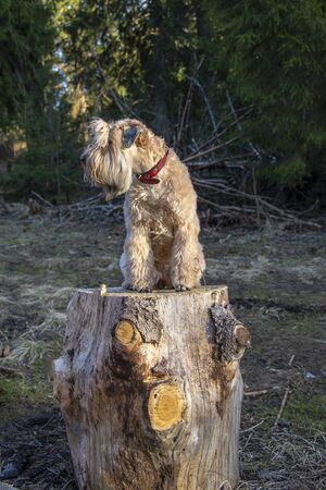 The dog, an Irish wheat soft-coated Terrier, is sitting on a large stump in the woods, illuminated by the sun.