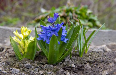 Bright fragrant hyacinths growing in the ground, in your own garden.