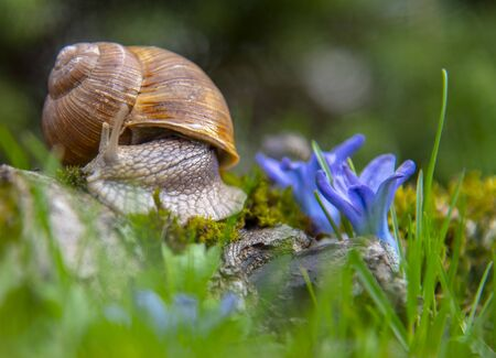 A large grape snail on a stump and spring tender blue flowers.