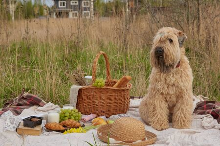 Picnic on the grass. Wicker basket with milk, grapes and bread on a blanket.A dog, an Irish wheat soft-coated Terrier, is sitting nearby, and various items are lying around.