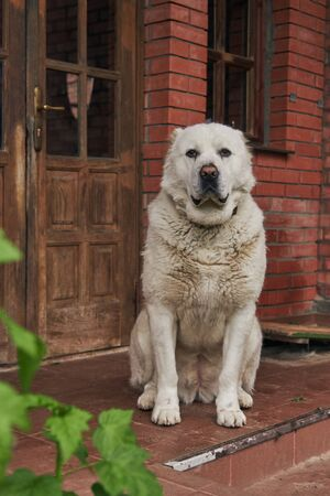 A large fawn Alabai, a Central Asian shepherd dog, sits on the porch of a house against a brick wall.