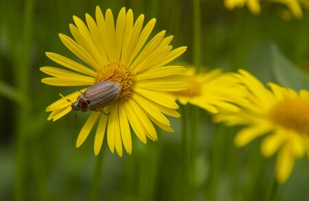 June bug , the cockchafer,is a large yellow Daisy. Insect life, spring background, copy space for text.