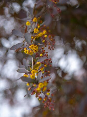 Blurred floral background, soft selective focus. A branch of the flowering European barberry . Copy space for text, design.