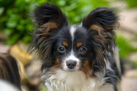 Portrait of a Papillon Purebreed Dog with big ears in a Grass Meadow . Stock Photo
