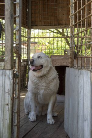 Portrait of a Central Asian shepherd dog, Alabai, inside the enclosure. Life of Pets.