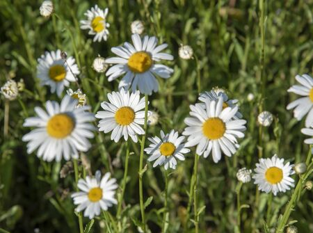Full frame chamomile field as backdrop. Summer natural flower background. Copy space for text, design.