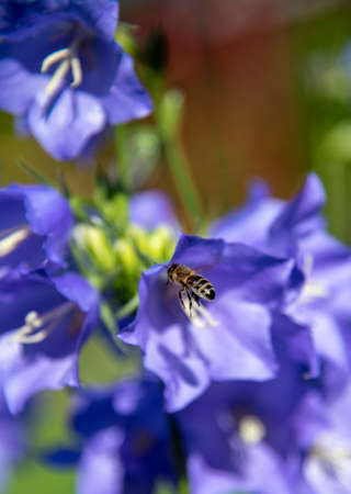 In sharpness, a bee alighting on a blue flower of a garden bell. Flower background, copy space for text.