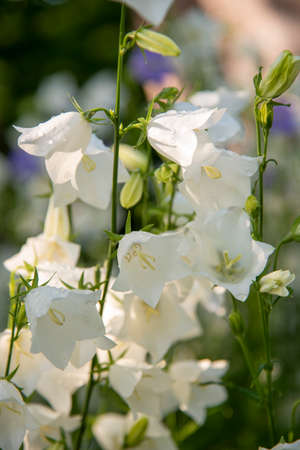 White garden bells in raindrops on a blurred background, illuminated by the sun.