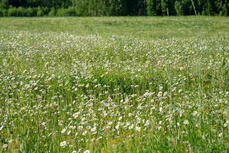 Full frame chamomile field as backdrop. Summer natural flower background.