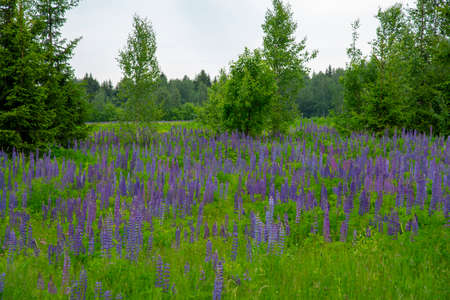 Lupin field. Bright purple lupines on a background of green foliage. 写真素材
