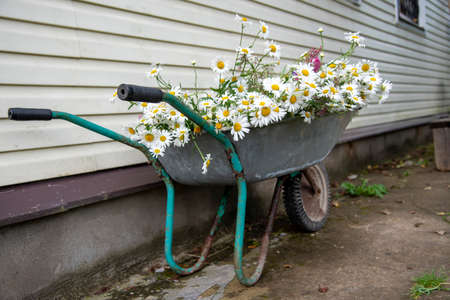 A garden wheelbarrow full of daisies stands against the wall .