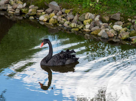 The black Swan on the pond is reflected in the surface of the water. Archivio Fotografico