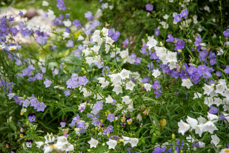 Full frame of blooming garden bells, purple and white. Flower background, copy space for text.