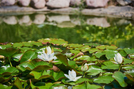 A garden pond with blooming white lilies is framed by large stones. Garden design.