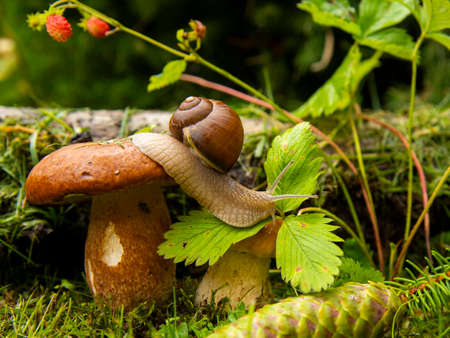 Photo from the series one day in the life of snails. A garden snail sits on a large wet mushroom, and another smaller mushroom grows nearby. 版權商用圖片