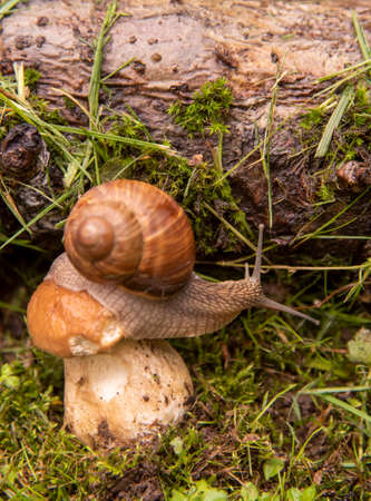 Photo from the series one day in the life of snails. A garden snail sits on a large wet mushroom. Focus on the snail's body.