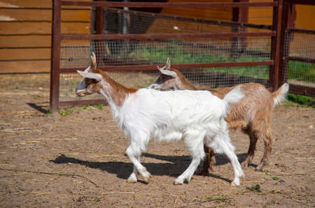 Two baby goats, white and brown, in a paddock on a livestock farm. Archivio Fotografico