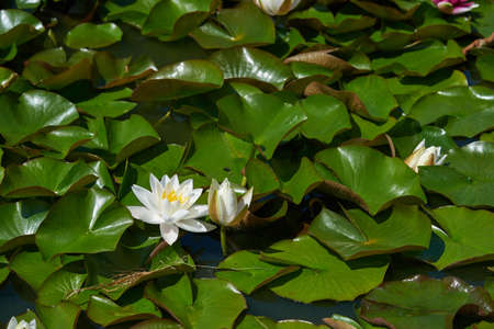 Full frame leaves and flowers of a white water Lily