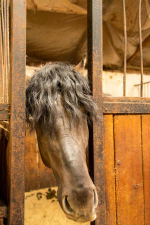 A gray Horse with a thick, curly black mane poked its muzzle out of a stall in the stable.