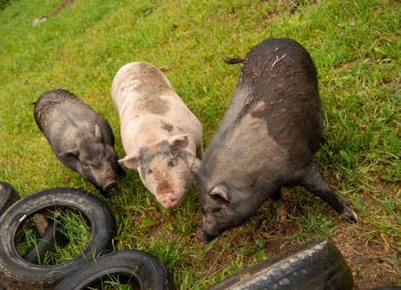 Three huge, dirty pigs were gathered around the tires of cars lying on the green grass.